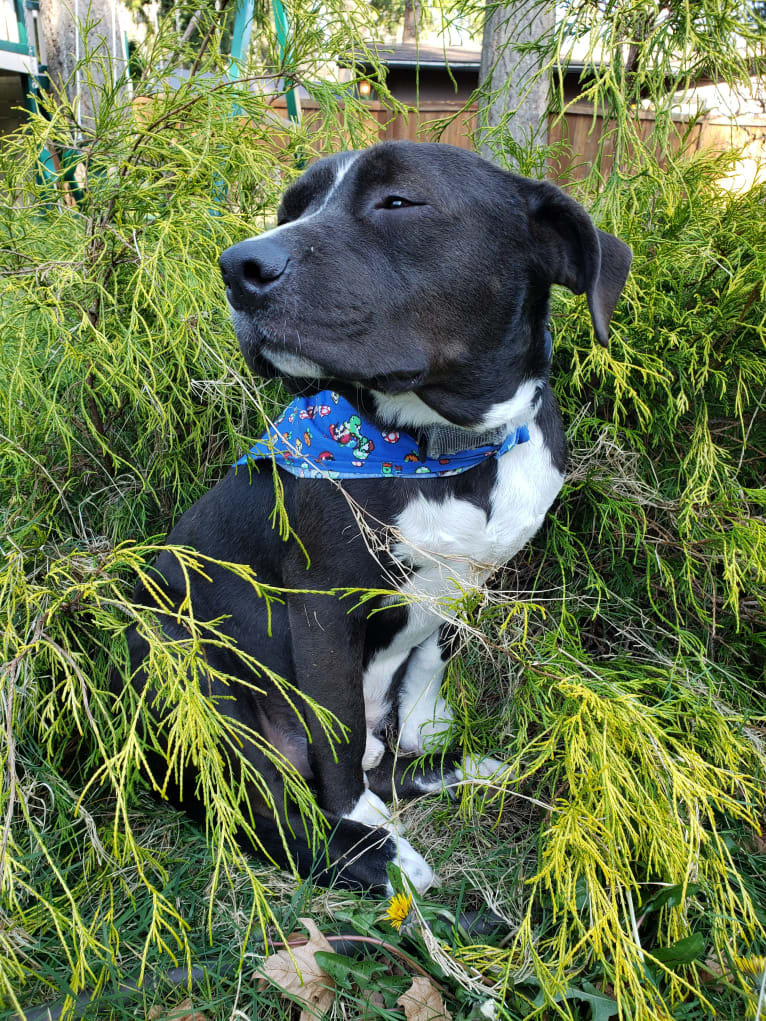 Photo of Connor, an American Bully, American Bulldog, Rottweiler, and Mixed mix in Texas, USA