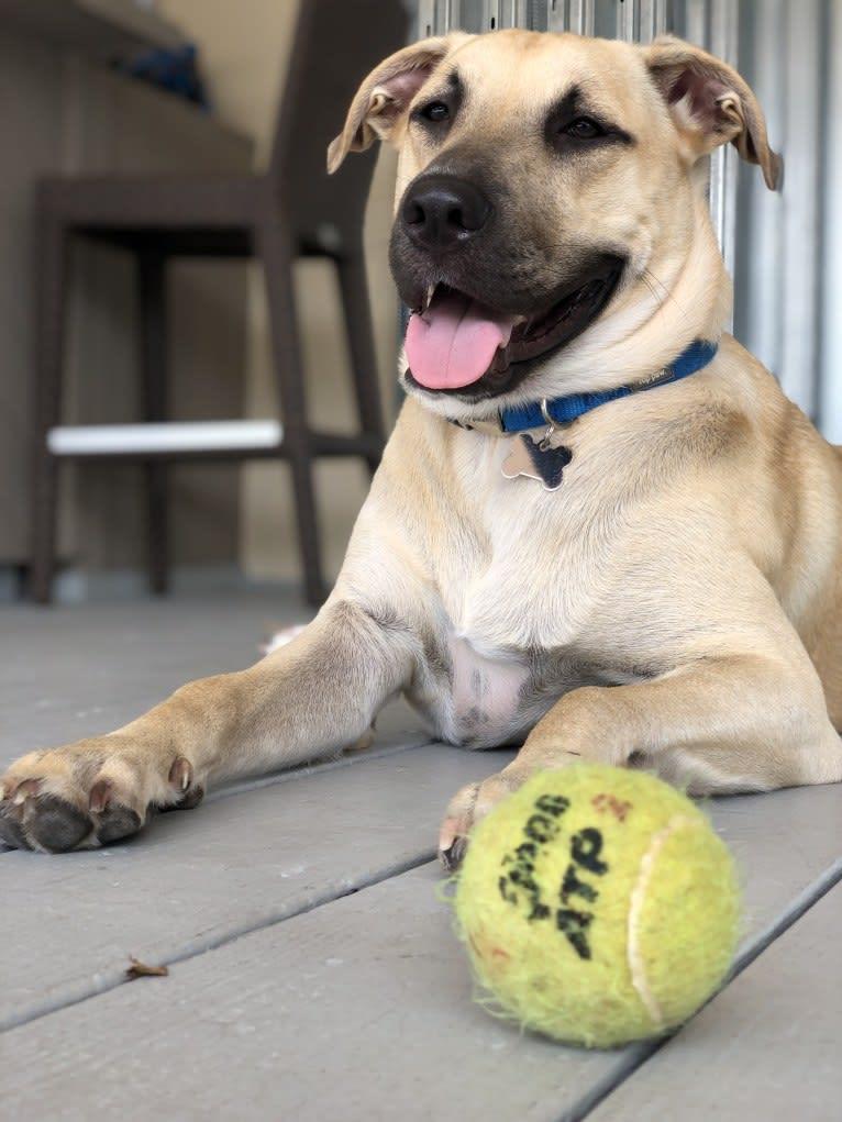 Photo of Milo, an American Pit Bull Terrier, Labrador Retriever, Mountain Cur, Chow Chow, and Mixed mix in Atlanta, Georgia, USA