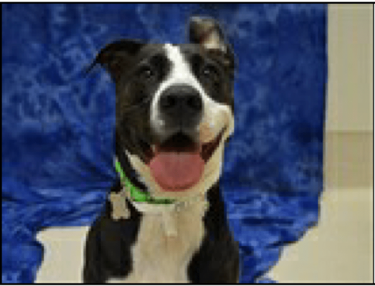 Photo of Banjo, an American Bully, American Pit Bull Terrier, and Labrador Retriever mix in California, USA