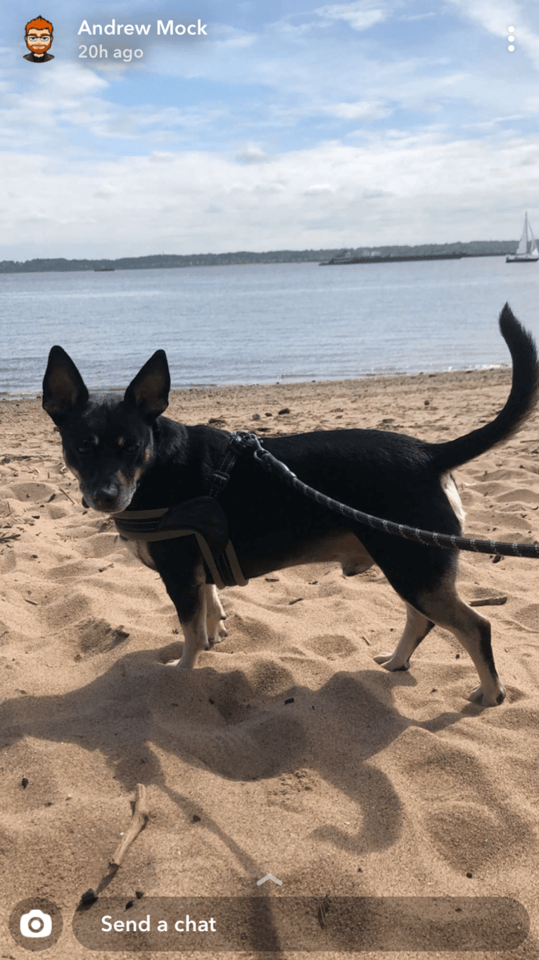 Photo of Lucifer, a Chihuahua, Australian Cattle Dog, American Pit Bull Terrier, and Rat Terrier mix in New York, New York, USA