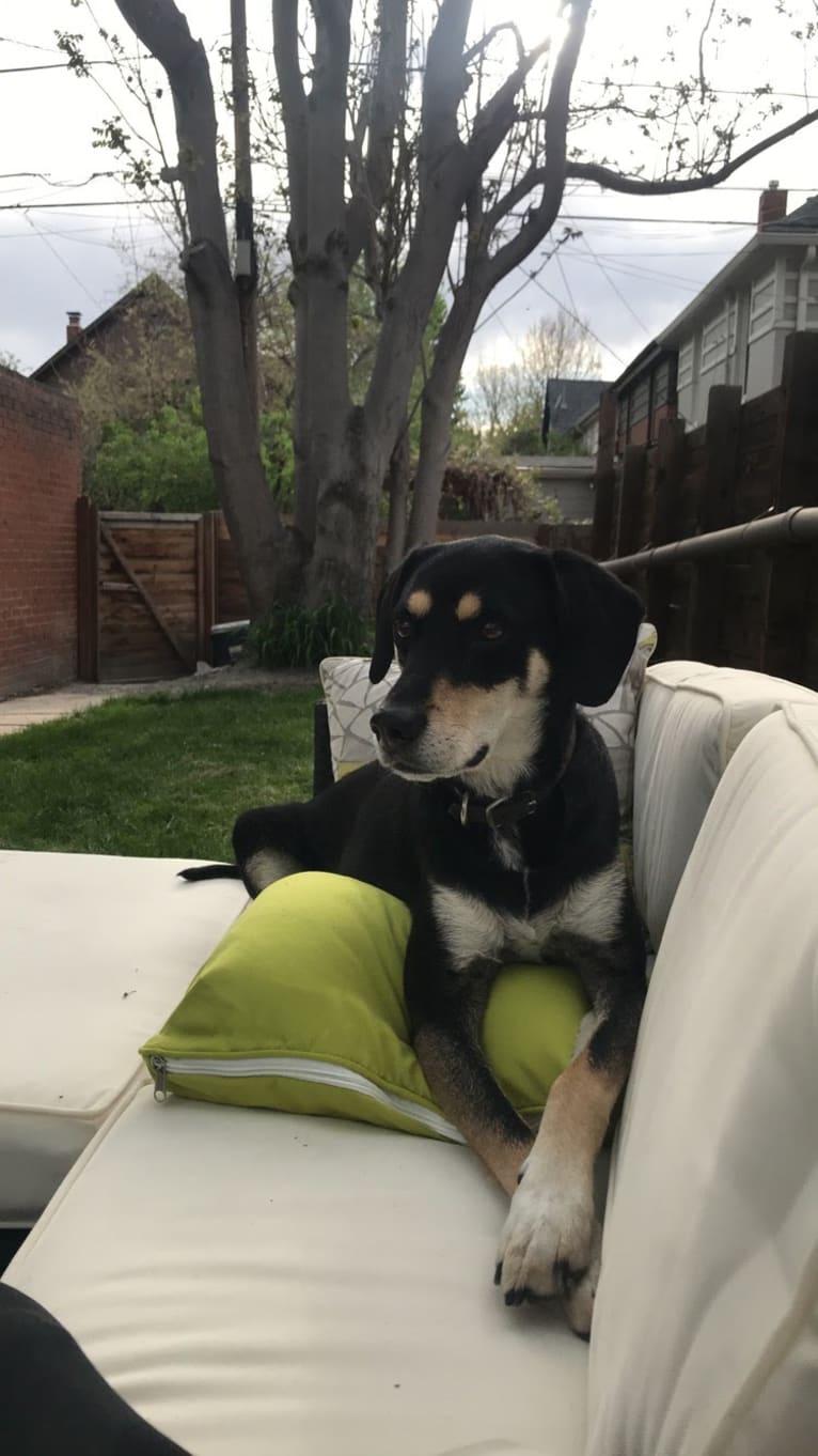 Photo of Jax, a Beagle, Golden Retriever, Labrador Retriever, and Scottish Terrier mix