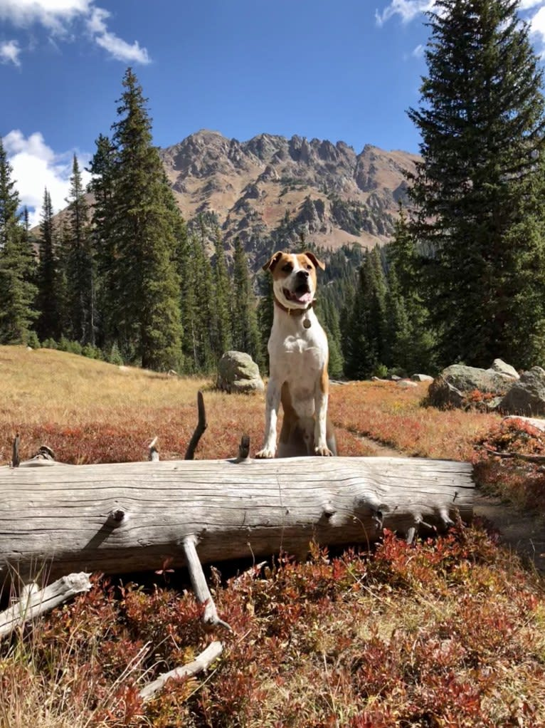 Photo of Gimli, an American Pit Bull Terrier, German Shepherd Dog, and Australian Cattle Dog mix in New Mexico, USA