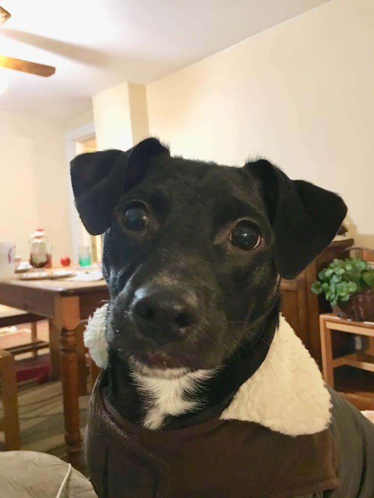 Photo of Hoss, a Chihuahua, Poodle (Small), Staffordshire Terrier, Rat Terrier, and Mixed mix