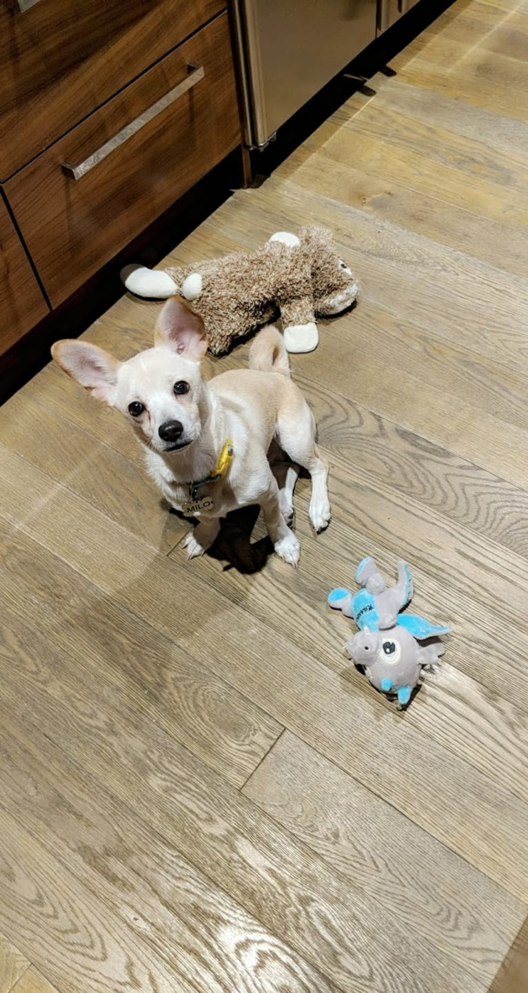 Photo of Milo, a Chihuahua, Poodle (Small), Pomeranian, and Mixed mix in Riverside, California, USA