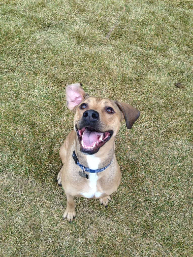 Photo of Athena, an American Pit Bull Terrier, Weimaraner, and Australian Shepherd mix in Colorado, USA