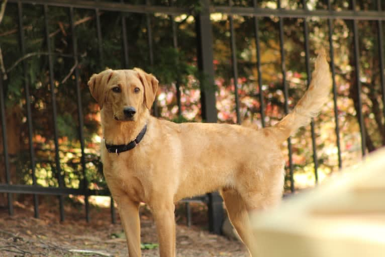 Photo of Murphy, a Labradoodle  in Mooresville, North Carolina, USA