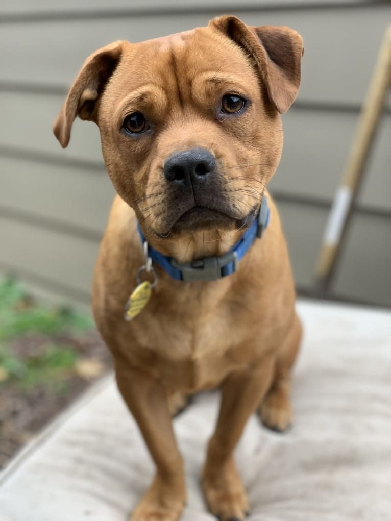 Photo of Charlie, a Shih Tzu, American Pit Bull Terrier, Pug, German Shepherd Dog, and Mixed mix in Texas, USA