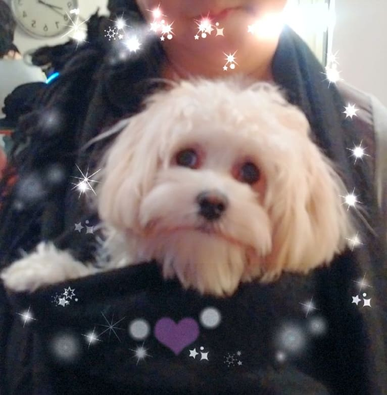 Photo of Maggie, a Maltese, Poodle (Small), Shih Tzu, and Pomeranian mix in Toronto, Ontario, Canada