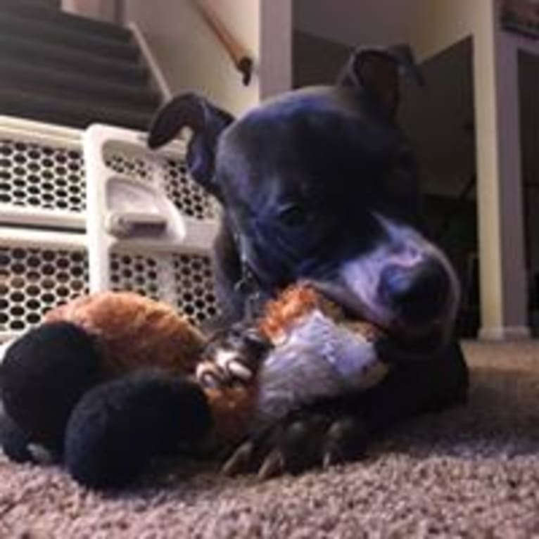Photo of Journey, an American Pit Bull Terrier and American Staffordshire Terrier mix in Webster, New York, USA