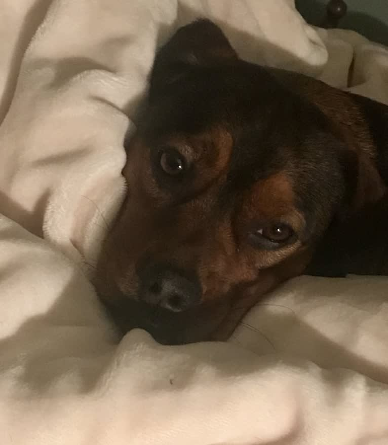 Photo of Jaxson, a Beagle, Pekingese, American Pit Bull Terrier, Basset Hound, and Pomeranian mix in Kentucky, USA