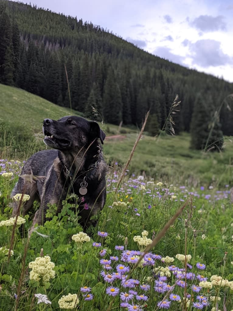 Photo of Rosie, a Rottweiler, Siberian Husky, and American Pit Bull Terrier mix in Denver, Colorado, USA