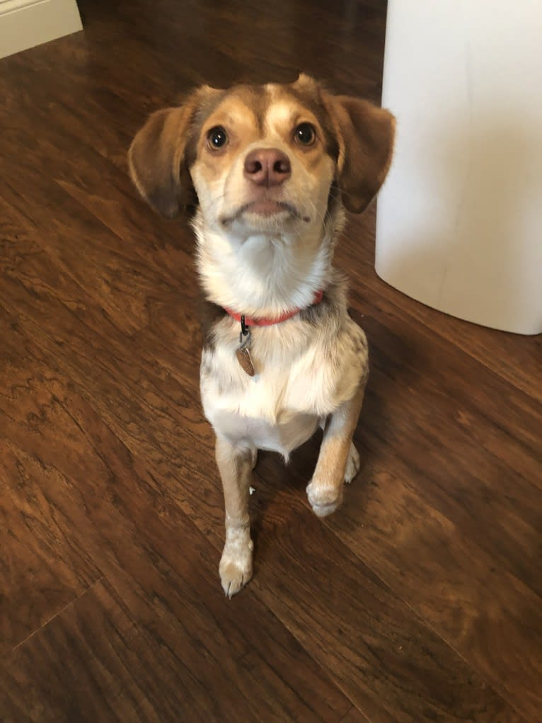 Photo of Lucy, a Beagle, Cocker Spaniel, Miniature Pinscher, Pomeranian, Basset Hound, and Australian Cattle Dog mix in Rochester, NY, USA