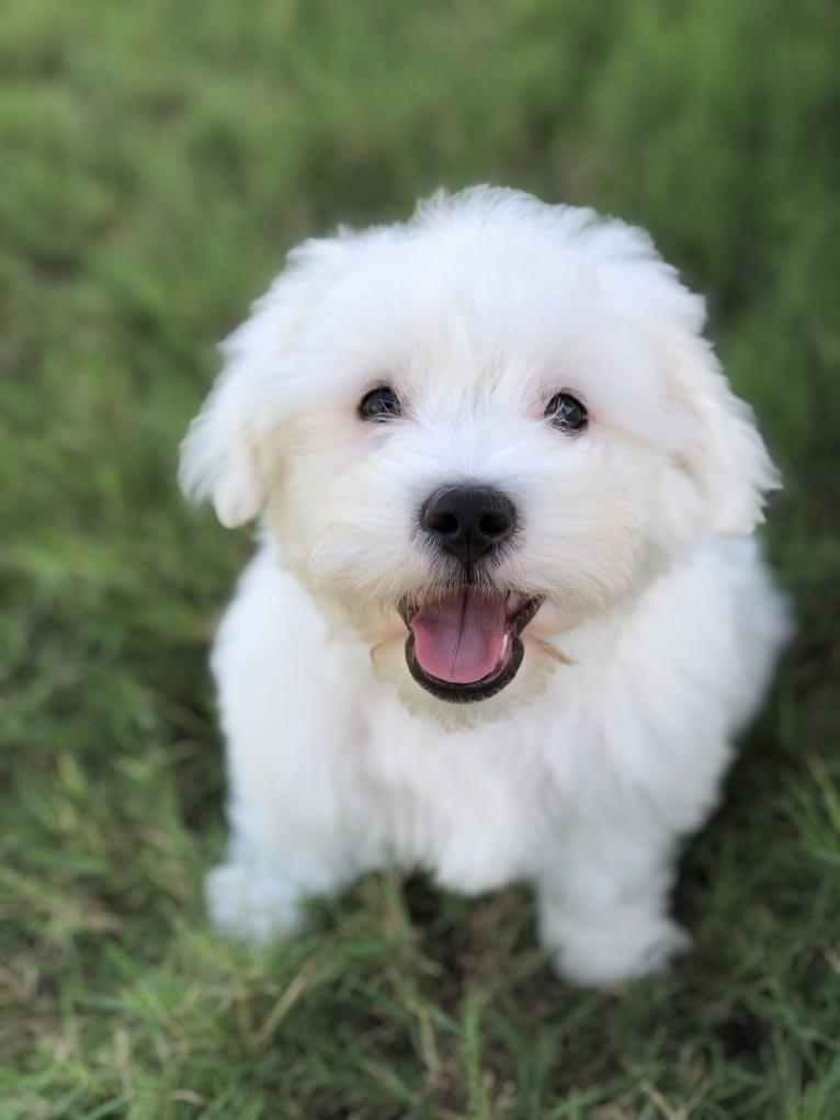 Photo of Pancake, a Poodle (Small), Cocker Spaniel, Pekingese, and Mixed mix in Irving, TX, USA