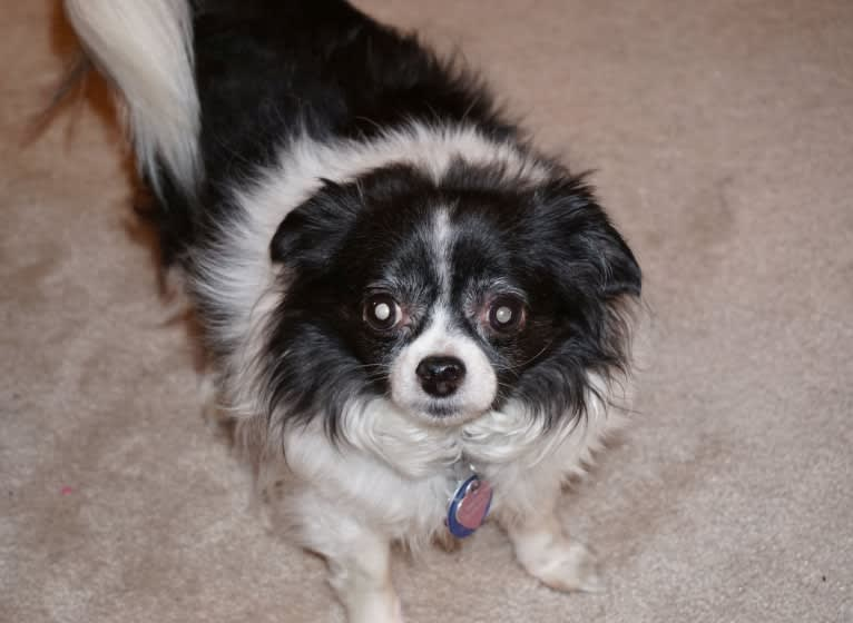 Photo of Emi-Lu, a Pomchi (15.8% unresolved) in Marysville, Ohio, USA