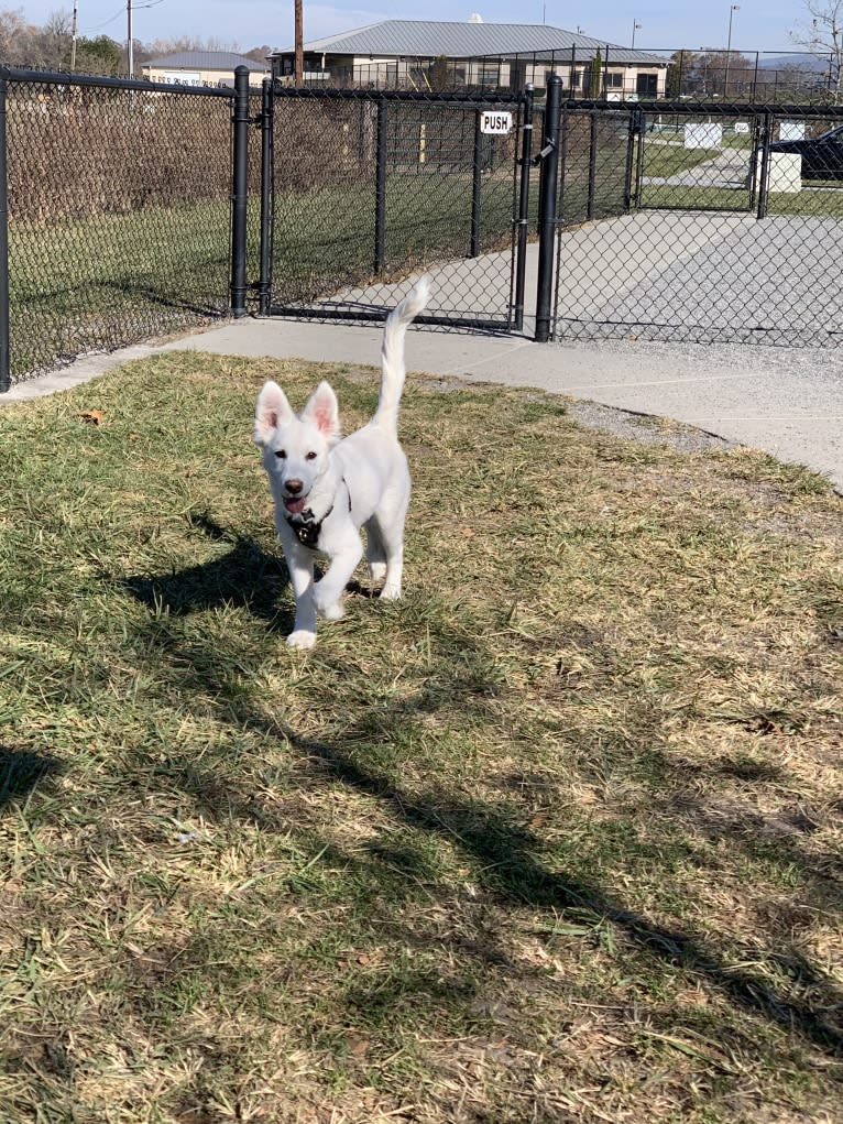 Photo of Bao, a Siberian Husky, Poodle (Small), and Mixed mix in Asheville, North Carolina, USA