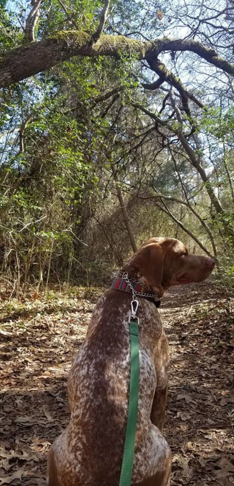 Photo of Rhett, an American Pit Bull Terrier and German Shorthaired Pointer mix in Huntsville, Texas, USA