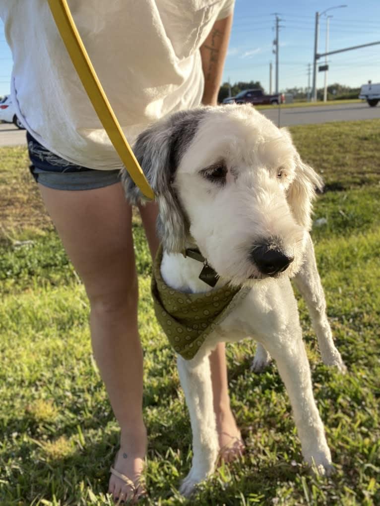Photo of Kieran, an Old English Sheepdog  in Lehigh Acres, Florida, USA