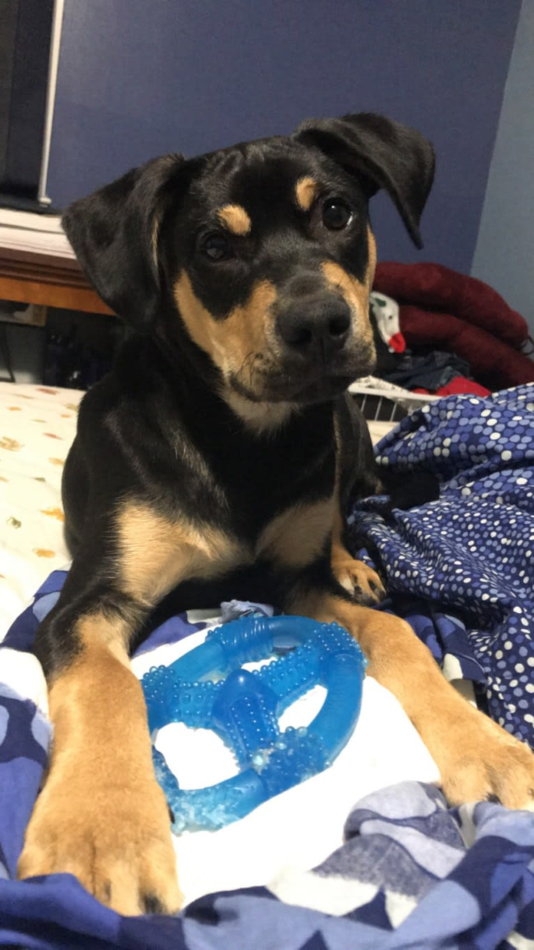 Photo of Jax, an American Pit Bull Terrier, Rat Terrier, Labrador Retriever, Beagle, and Mixed mix in Georgia, USA