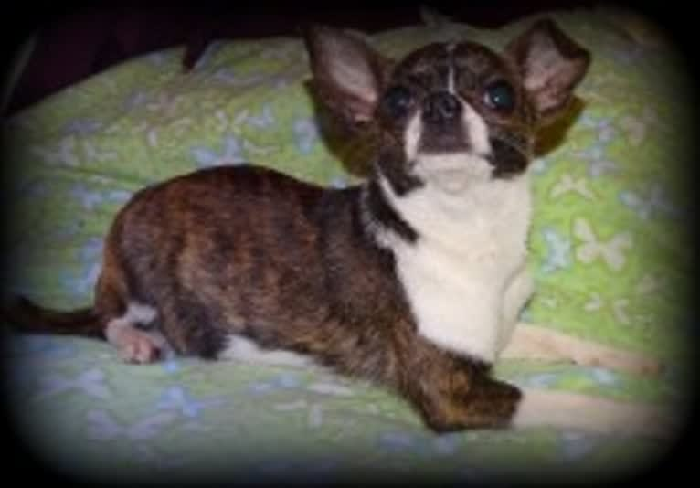 Photo of Hazelnutty, a Chihuahua