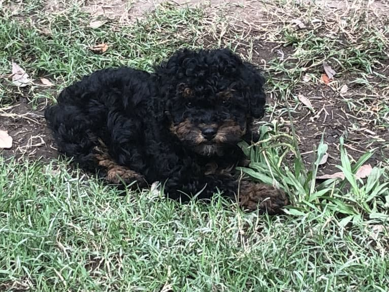 Photo of Remi, a Poodle (Small)  in Cub Run, KY, USA