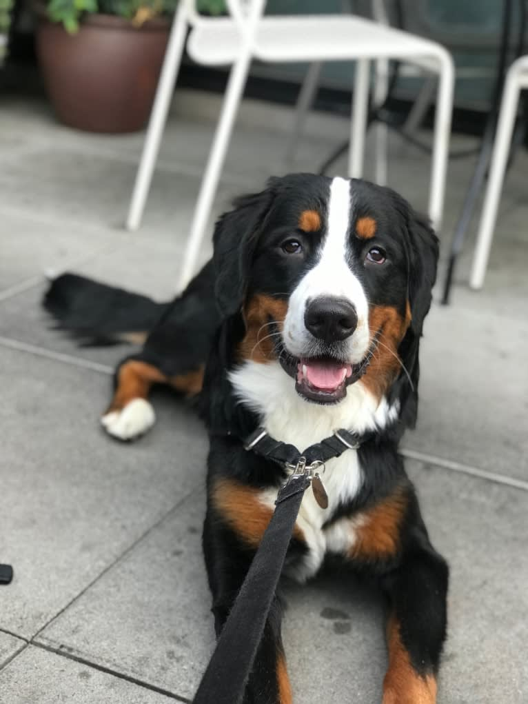 Photo of Teddy, a Bernese Mountain Dog  in Ohio, USA