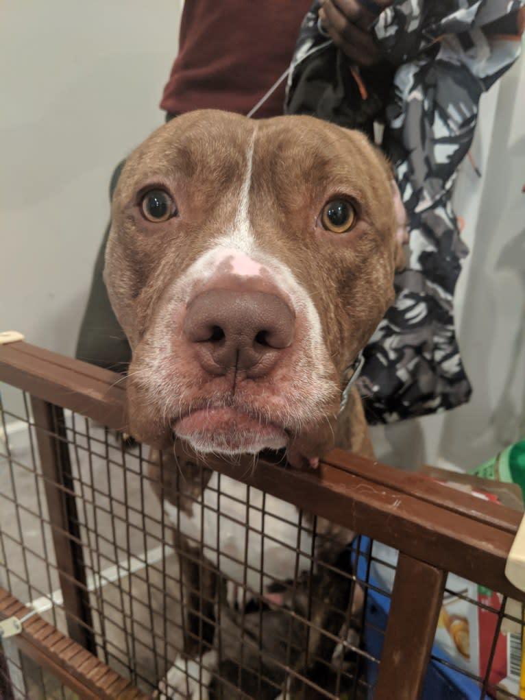 Photo of Kingston, an American Bulldog, Perro de Presa Canario, Neapolitan Mastiff, and American Staffordshire Terrier mix in Baltimore, Maryland, USA