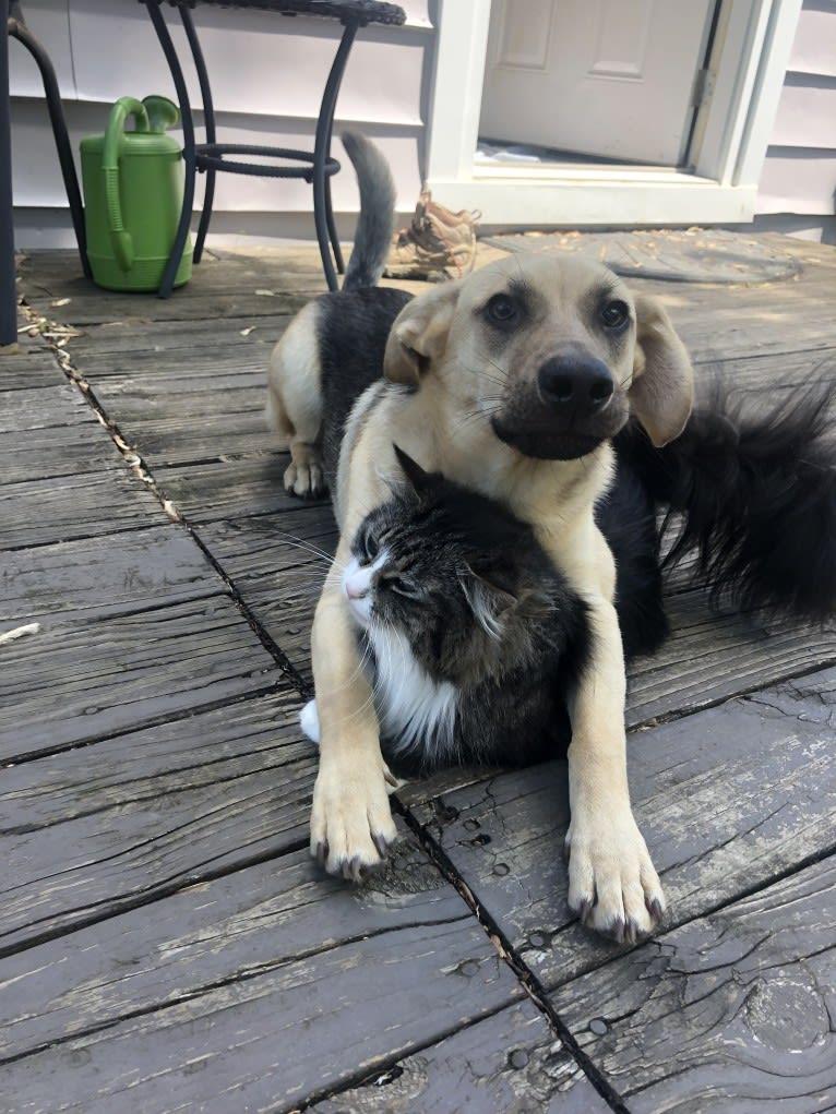 Photo of Fig, a Siberian Husky, Beagle, Labrador Retriever, and Mixed mix in Nicholasville, Kentucky, USA