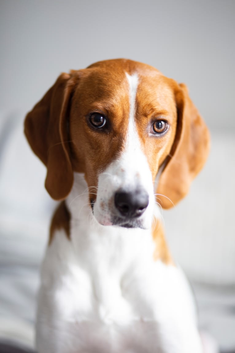 Photo of Jonathan, an American Foxhound and Treeing Walker Coonhound mix in Tallahassee, FL, USA