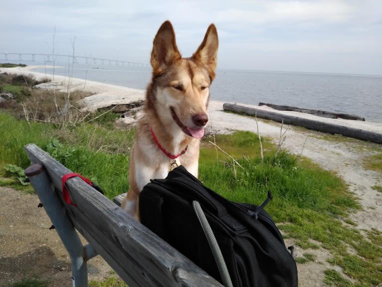 Photo of Reba, a Siberian Husky, German Shepherd Dog, Alaskan Malamute, and Belgian Malinois mix in San Mateo, California, USA