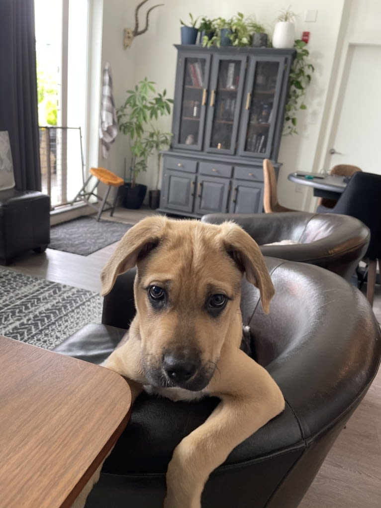 Photo of Enzo, an American Pit Bull Terrier, Rottweiler, Boxer, and Mixed mix in Langley City, British Columbia, Canada