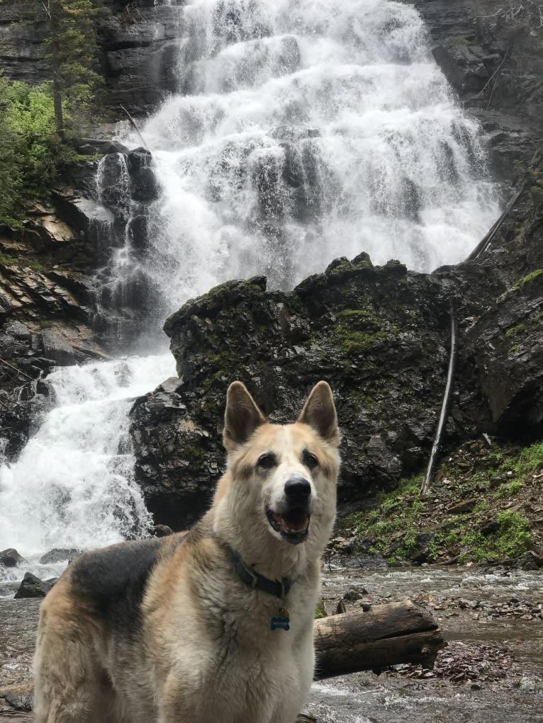 Photo of Maximum, a German Shepherd Dog, Australian Cattle Dog, and Alaskan Malamute mix in Butte, MT, USA