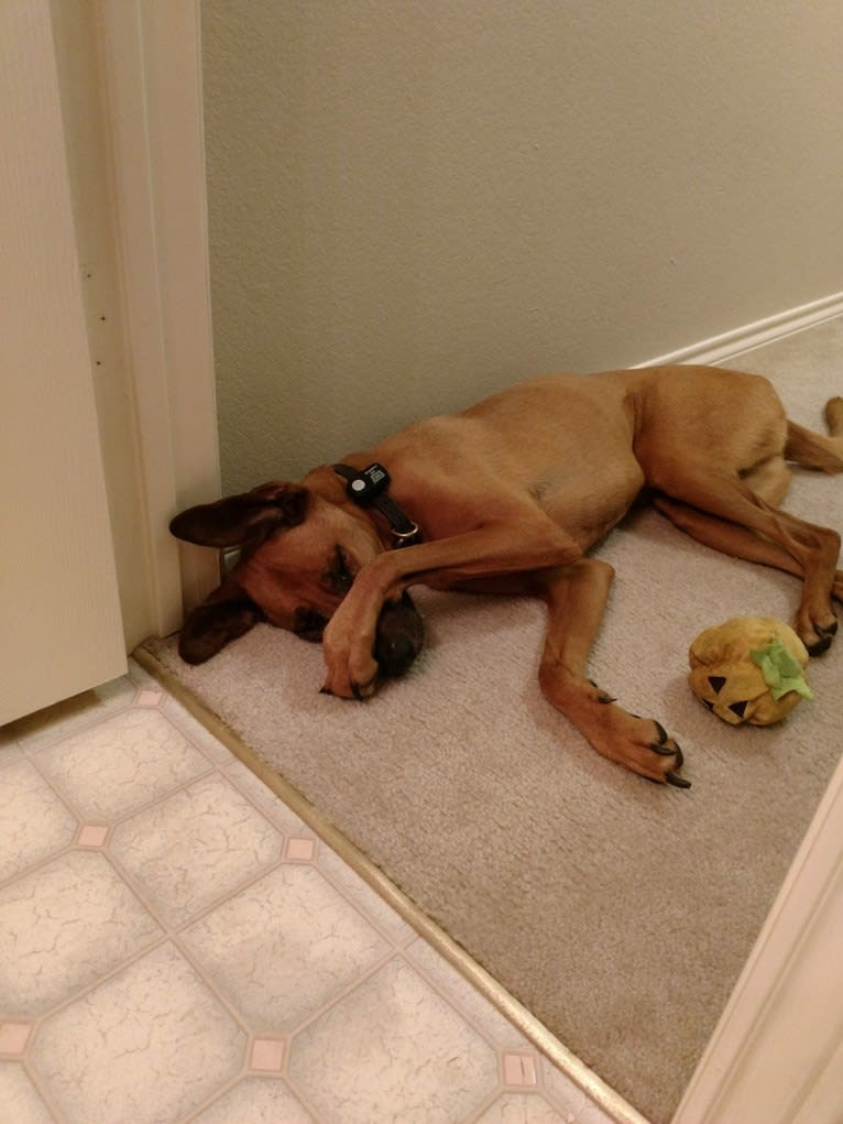 Photo of Mo Mo, an American Pit Bull Terrier, Doberman Pinscher, Boxer, Rottweiler, and Chow Chow mix