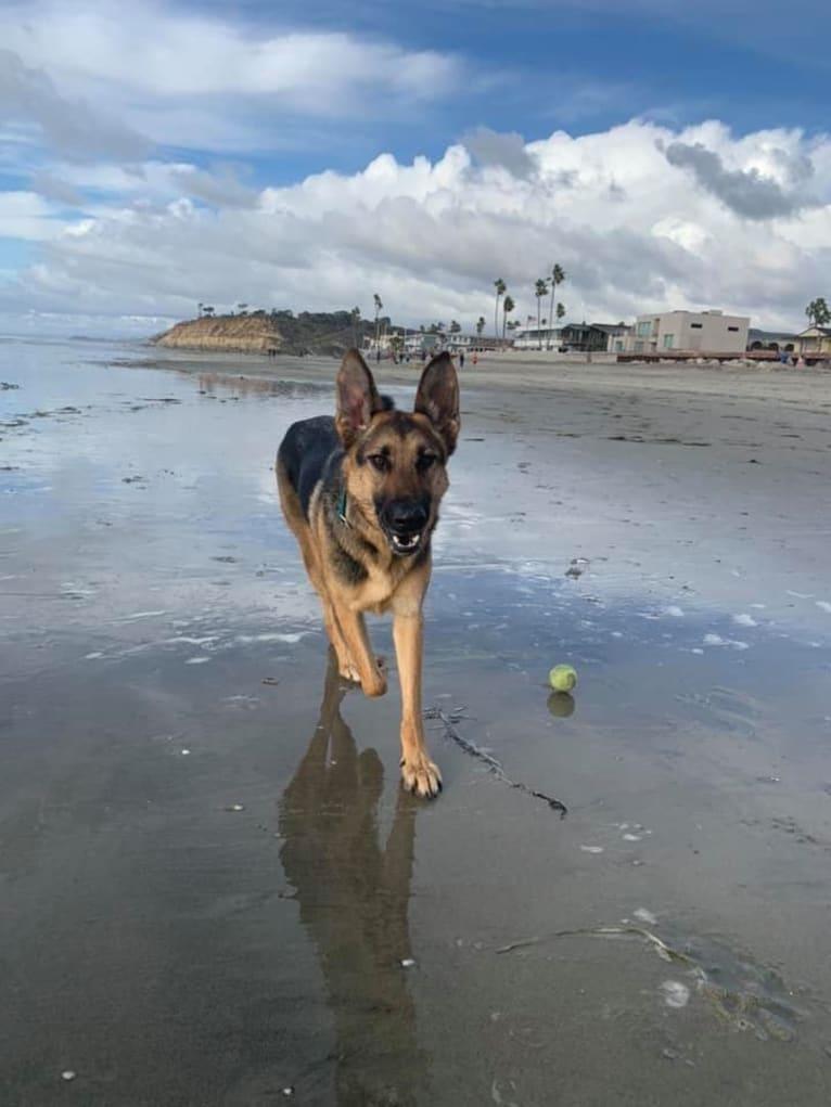 Photo of Gunther, a German Shepherd Dog, Labrador Retriever, and Chow Chow mix in Campo, California, USA