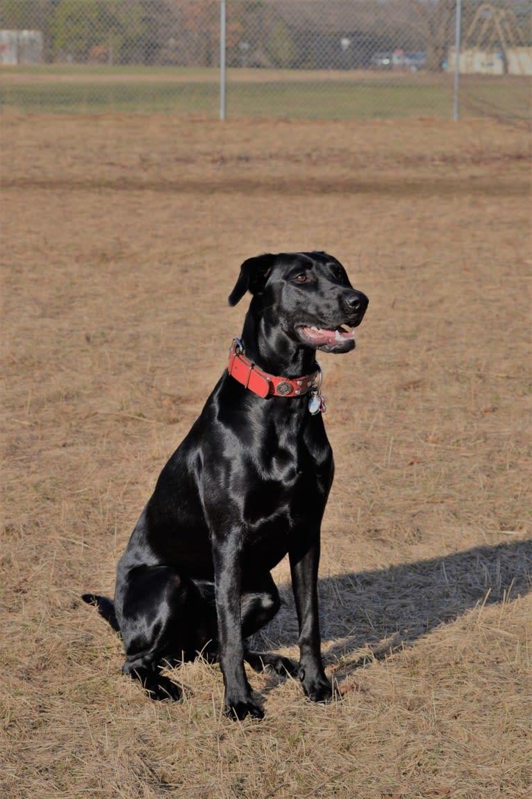 Photo of Onyx, a Labrador Retriever and Doberman Pinscher mix in Cadott, Wisconsin, USA