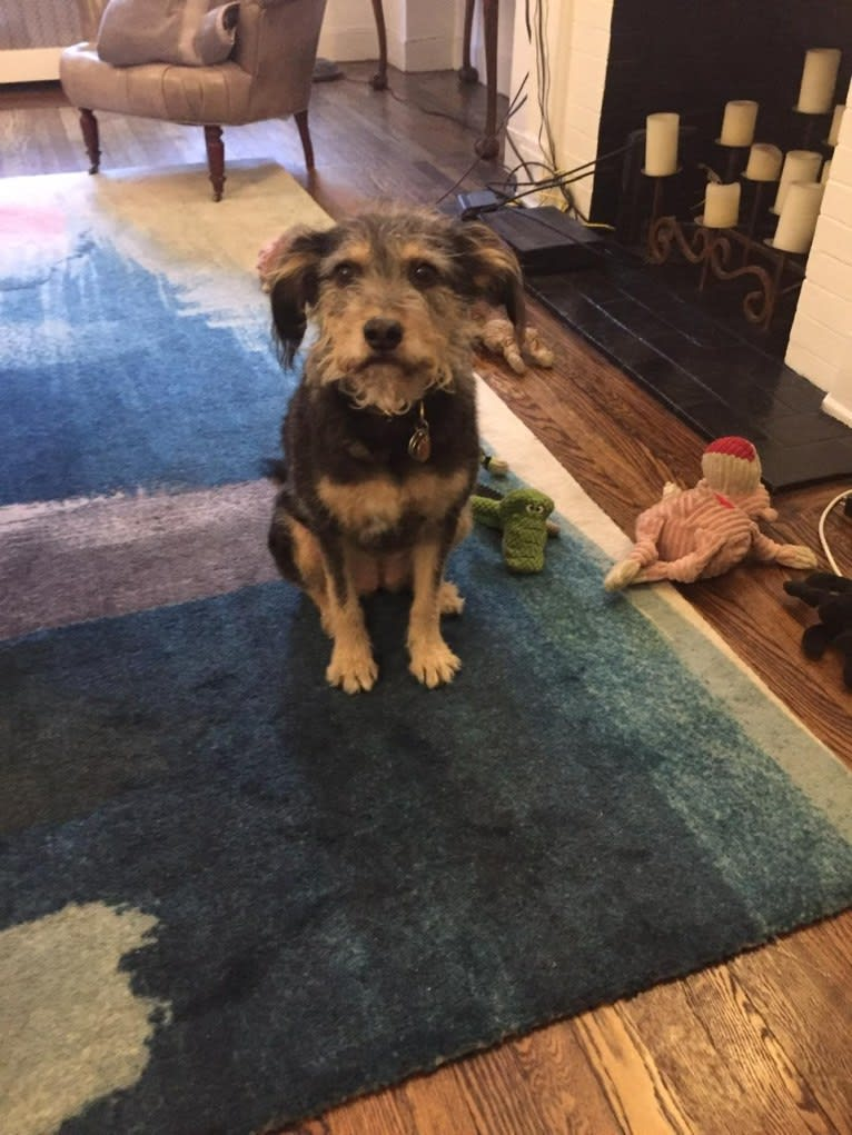 Photo of Olive, a Poodle (Small), Chow Chow, Rottweiler, American Pit Bull Terrier, Cocker Spaniel, and Mixed mix in New York, New York, USA