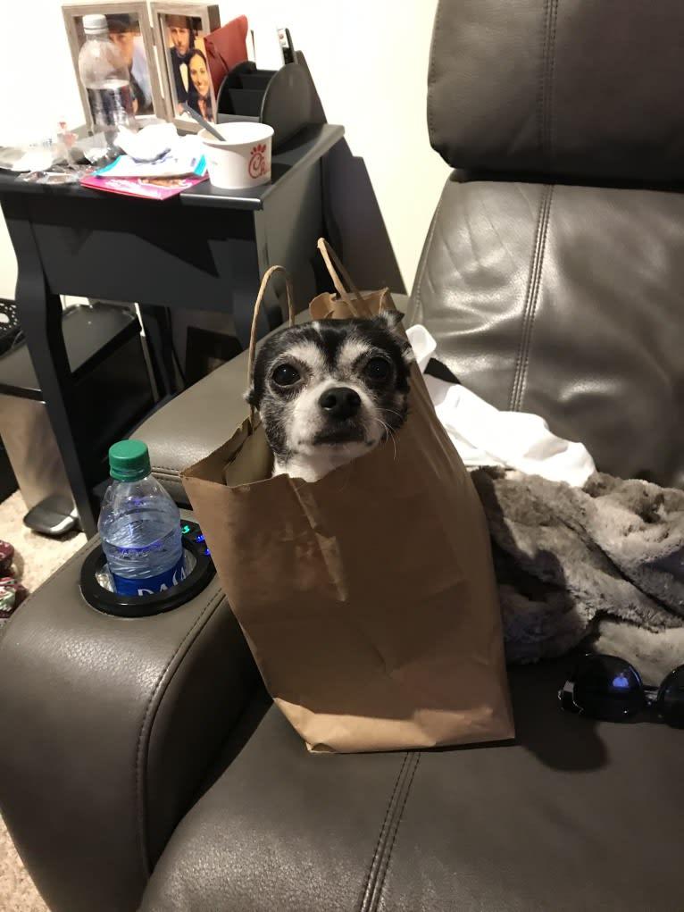 Photo of Leo, a Chihuahua  in Florida, USA
