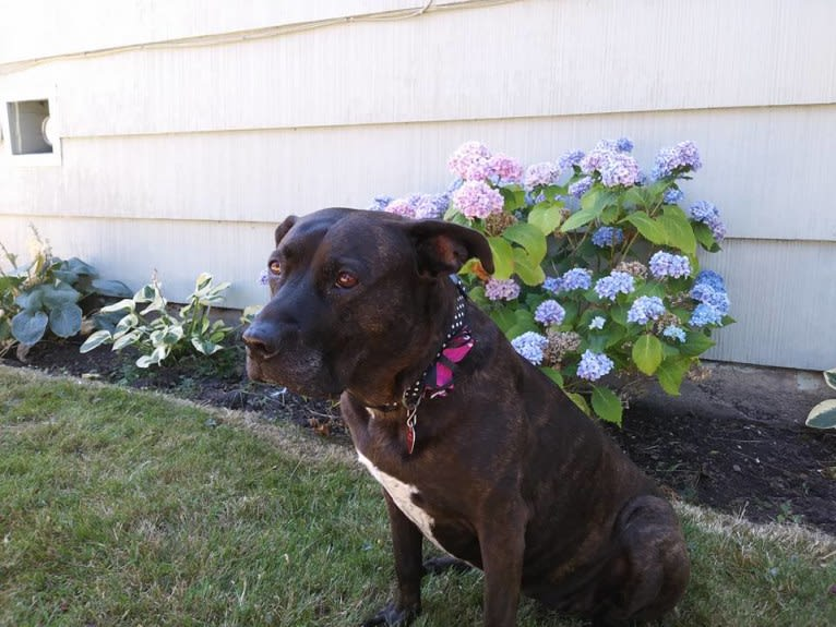 Photo of Luci Fur, an American Pit Bull Terrier and Rottweiler mix in Hamilton, Ontario, Canada