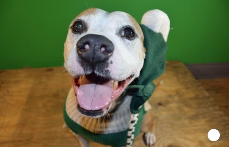 Photo of Samantha, an American Pit Bull Terrier  in Lansing, Michigan, USA