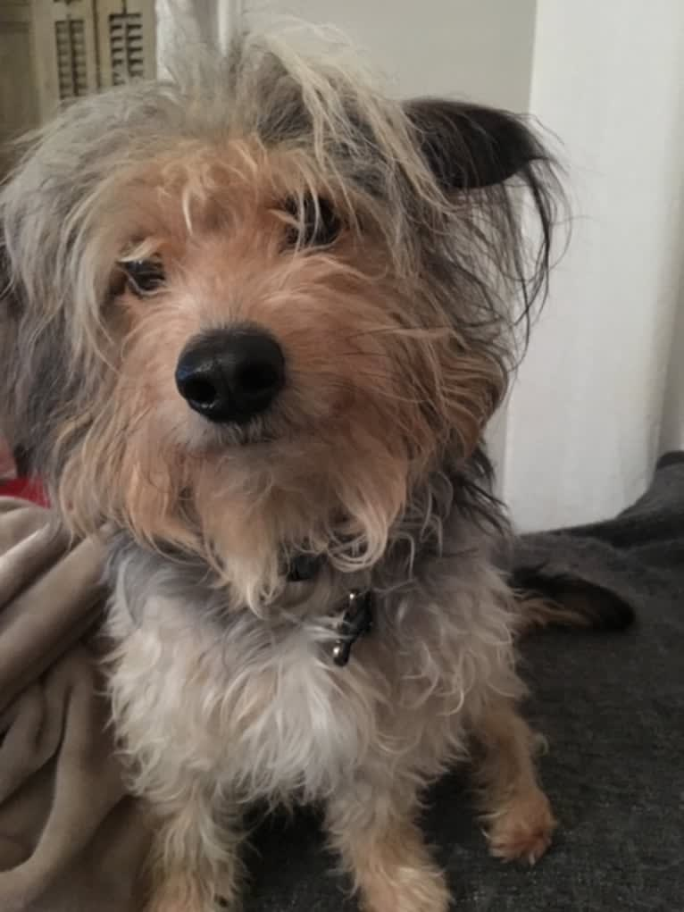 Photo of Frodo, a Chihuahua, Maltese, Yorkshire Terrier, and Poodle (Small) mix in Philadelphia, Pennsylvania, USA