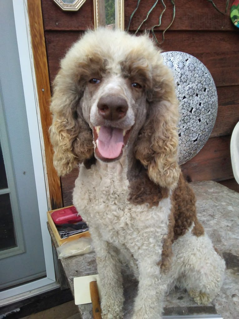 Photo of MERCEDES, a Poodle (Standard)  in Benton City, WA, USA