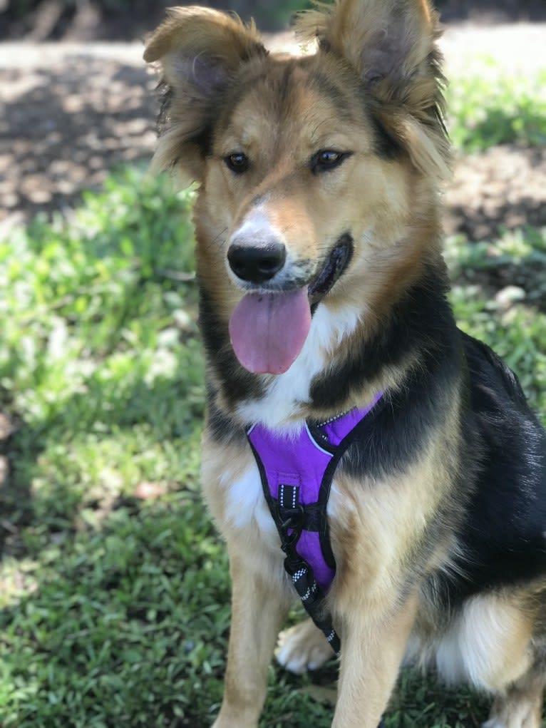 Photo of Koda, a German Shepherd Dog, Siberian Husky, Australian Cattle Dog, and Mixed mix in Los Angeles, California, USA