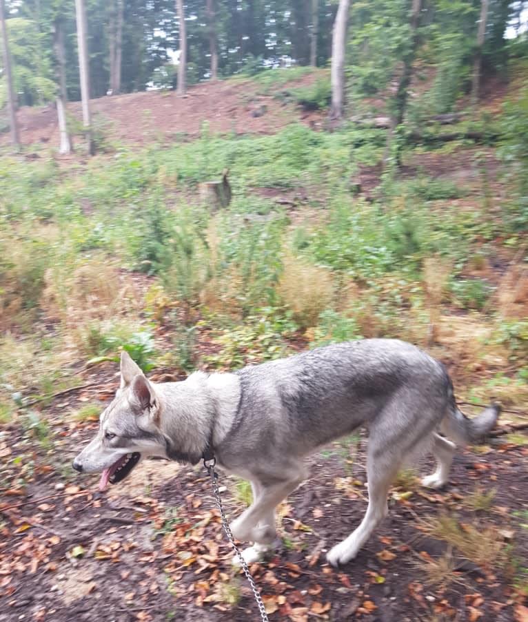 Photo of Ishtar (Estrella v.d. Scheldeschorre), a Saarloos Wolfdog  in Zeeland, Nederland