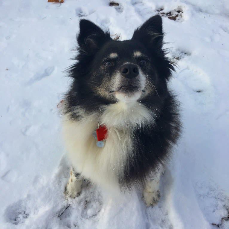 Photo of Piper, an American Eskimo Dog mix in Berwick, Pennsylvania, USA