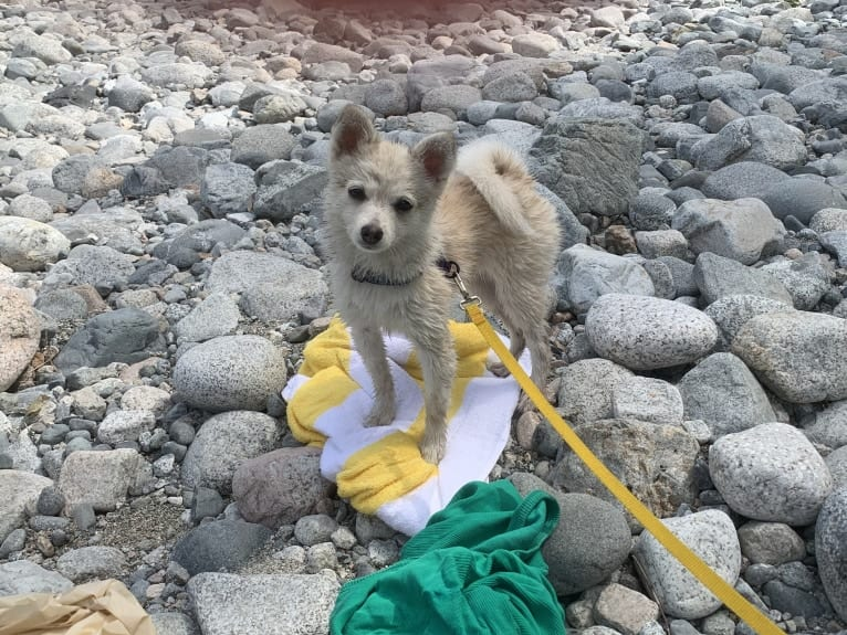 Photo of Lunita, a Pomeranian and Alaskan Klee Kai mix in Mission, British Columbia, Canada