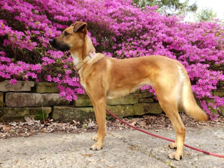 Photo of Gilly, a German Shepherd Dog, Boxer, Chinese Shar-Pei, Samoyed, and Mixed mix in Ohio, USA