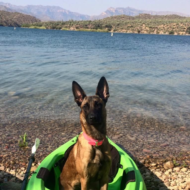 Photo of Mangle, a Dutch Shepherd  in Arizona, USA