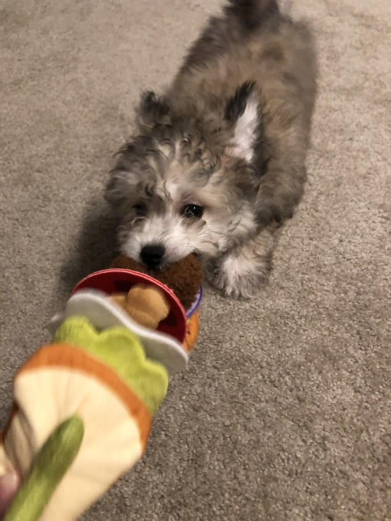 Photo of Coquito, a Chihuahua, Bichon Frise, and Pomeranian mix in Washington, USA