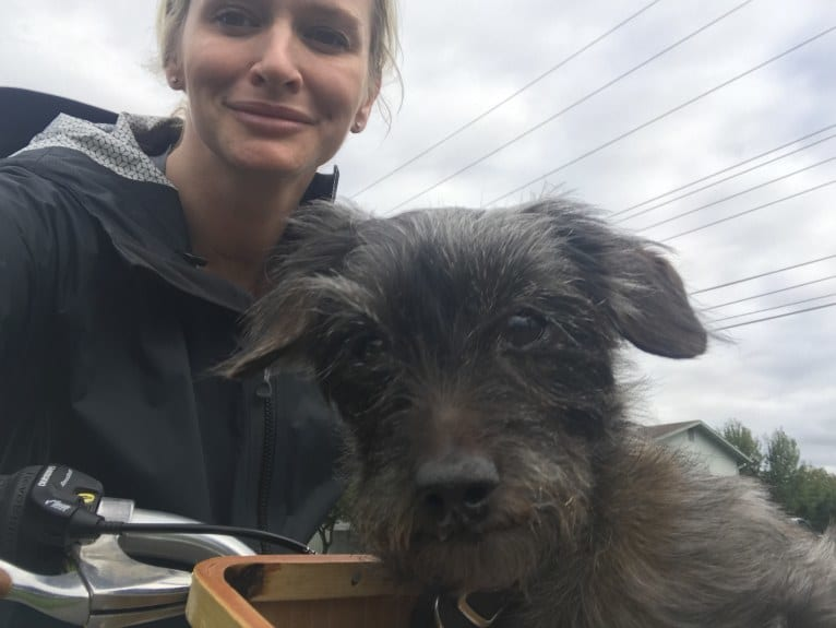 Photo of Toto, a Yorkshire Terrier, Dachshund, Cocker Spaniel, and Mixed mix in Modesto, CA, USA
