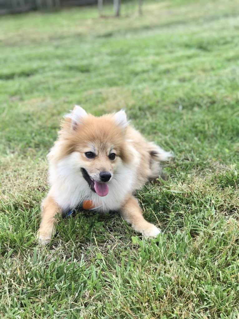 Photo of Tucker, a Pomeranian  in Cary, North Carolina, USA