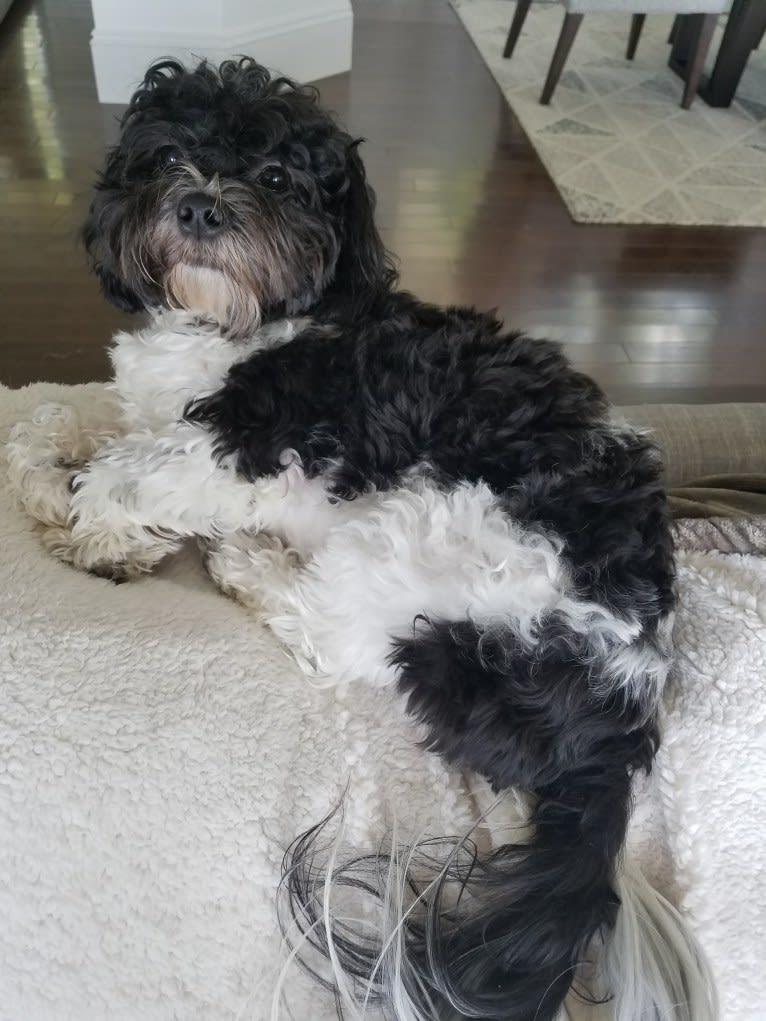 Photo of Maisie, a Zuchon